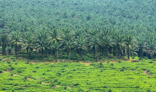 palm-plantation.jpg