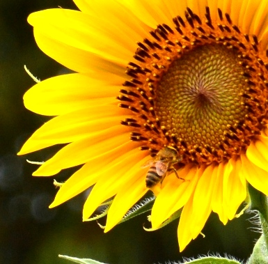 sunflower-bee-3-s.jpg
