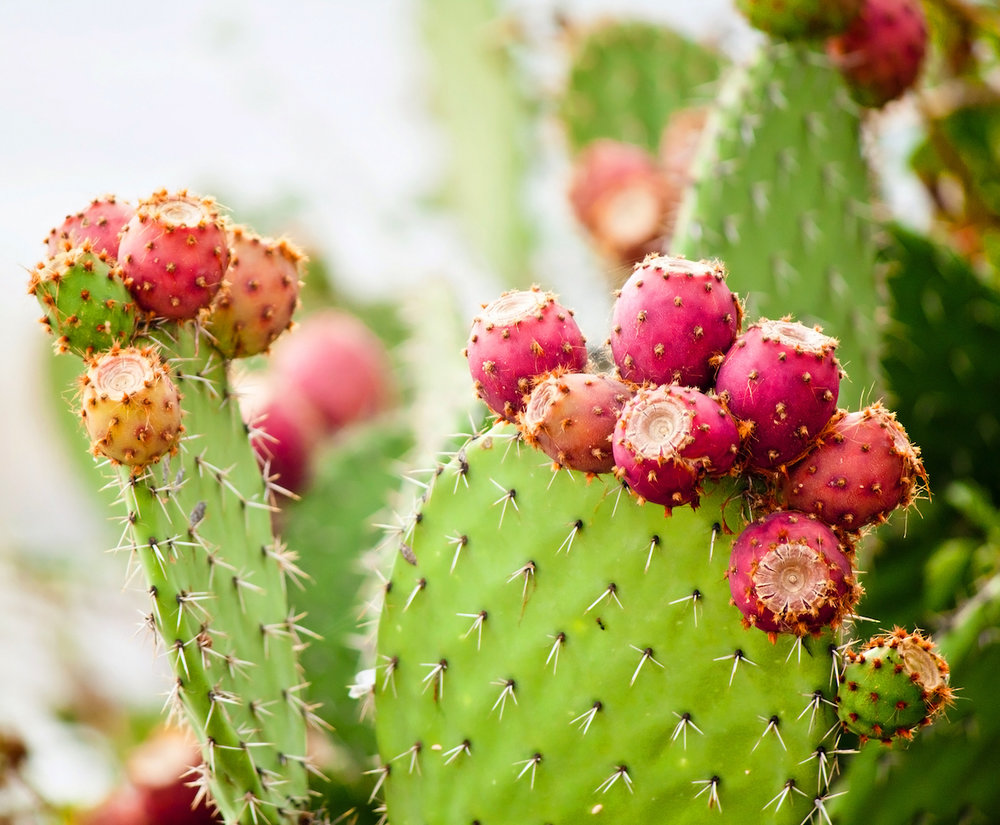 This unlikely-looking plant gives rise to one of the most expensive and valuable oils available for use in skin care. Our prickly pear seed oil is naturally cold pressed and certified organic.