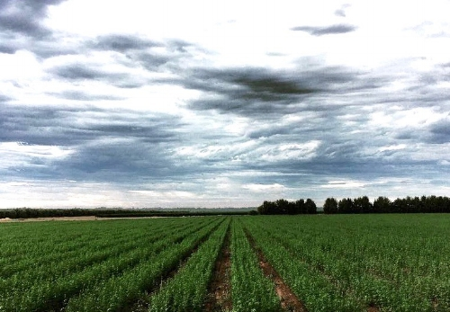 A young crop of hemp growing in Australia. Photo courtesy of Hemple (https://myhemple.com.au/ and https://www.instagram.com/myhemple/