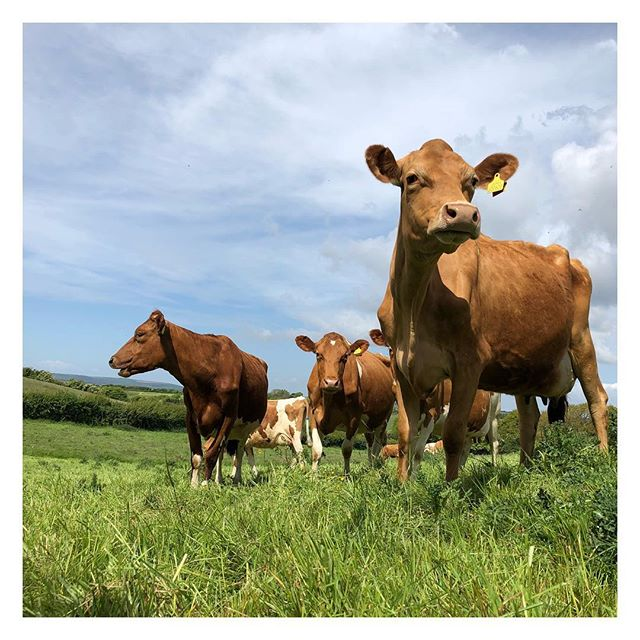 Sunday May 13 2018 ☀️ #isleofwight #guernseycows #cheese