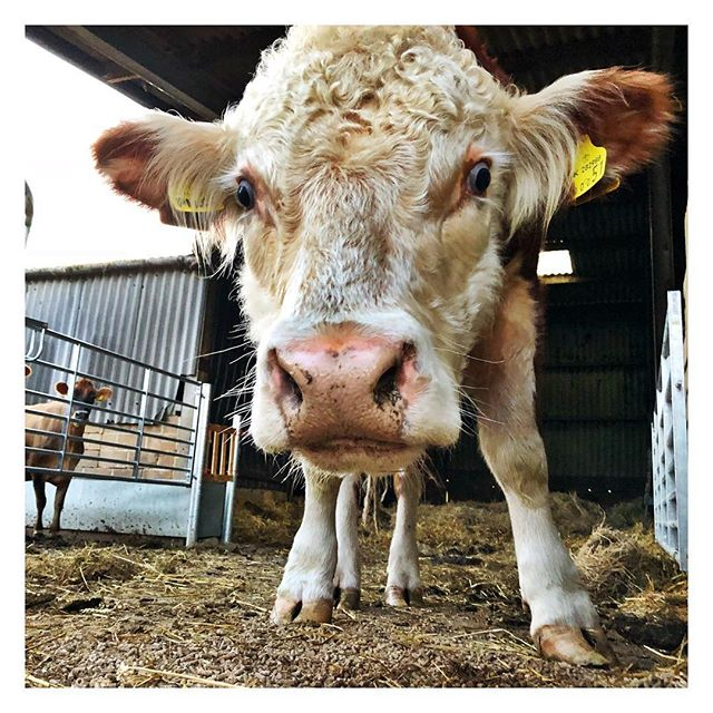 Time to welcome the first bull to set foot on the dairy since the 1950s. This is Pilot, our pedigree Hereford 🐮 Go on, lad! #dairyfarming #herefordbull #hereford #herefords