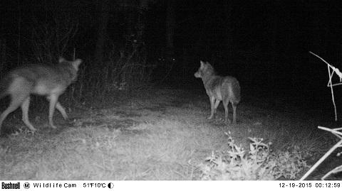 2coyotes_2015.jpg