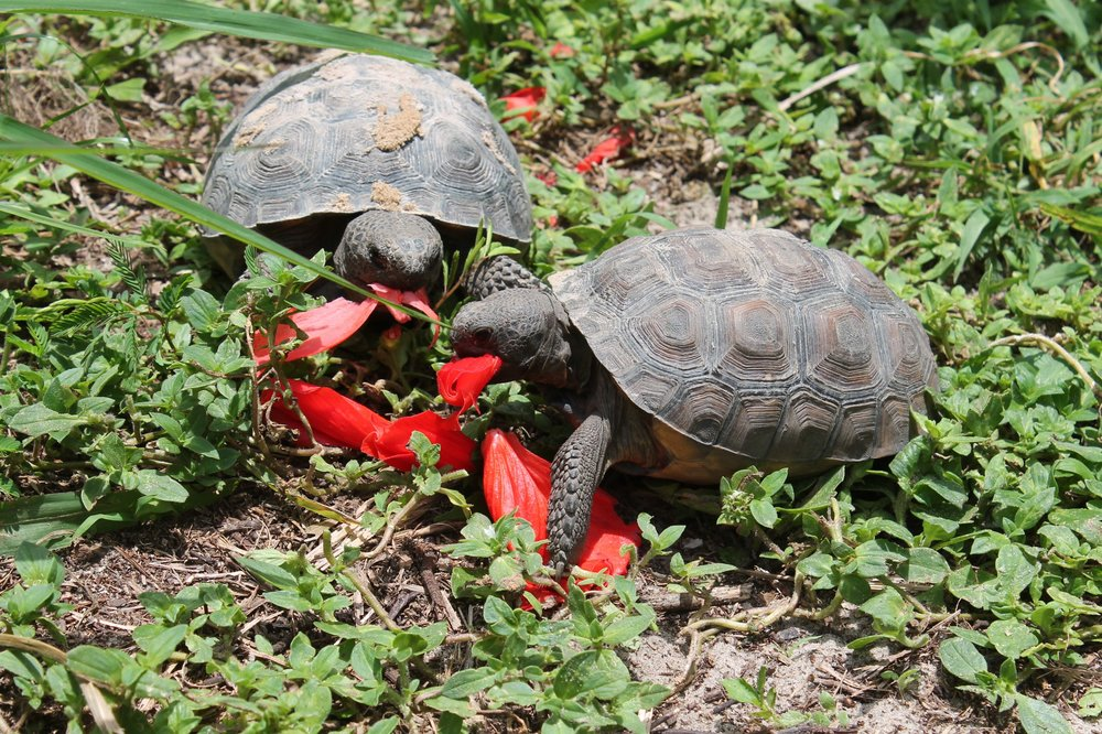 Gopher Tortoises — Oakland Nature Preserve