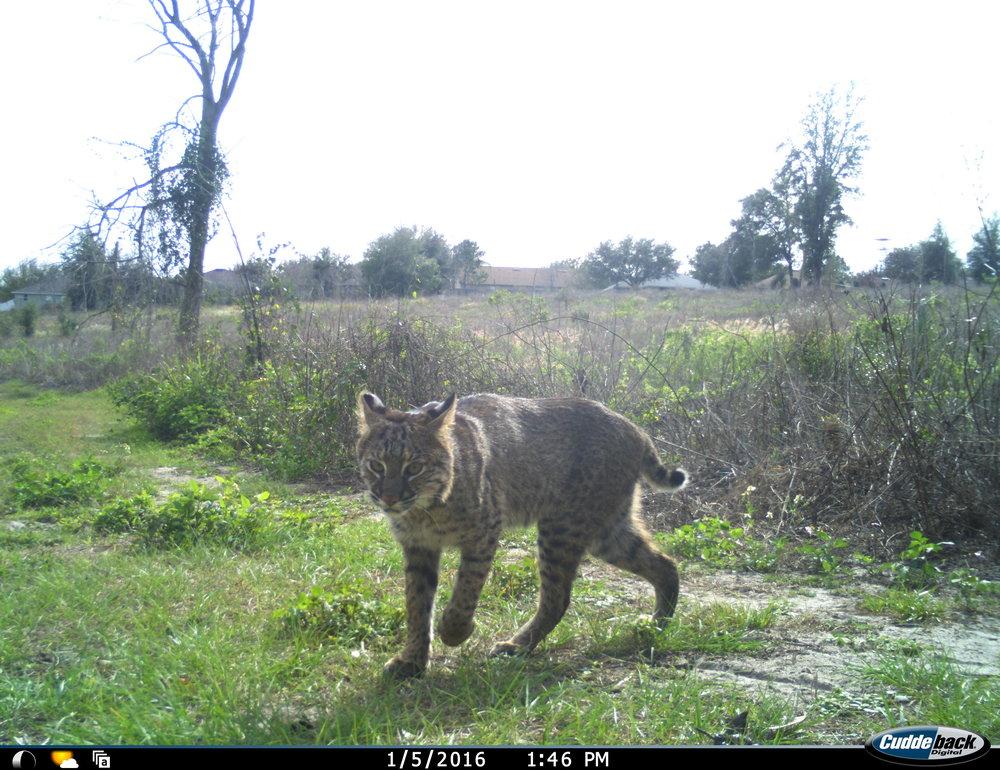 bobcat156_tc.JPG