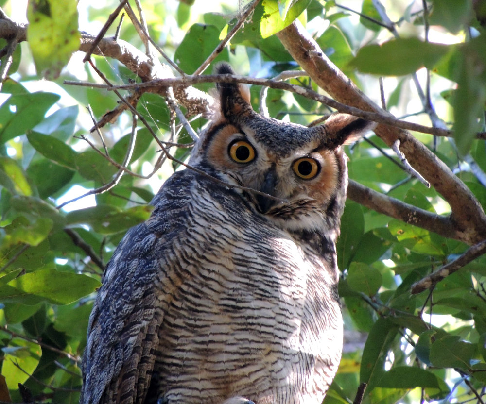 Great Horned Owl, Bubo virginianus, spotted on the Green Trail at Oakland Nature Preserve