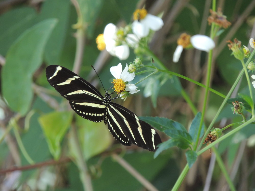 Zebra Longwing Butterfly,  Heliconius charithonia   ,   on Spanish Needles