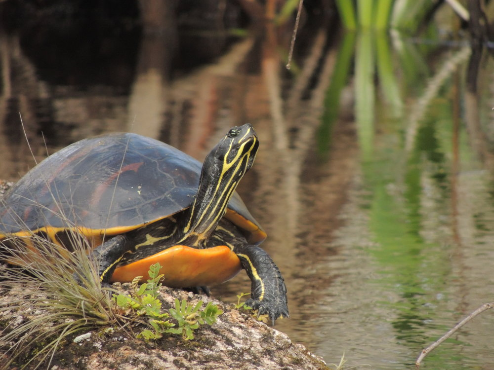Florida red-bellied cooter, Pseudemys nelsoni, enjoying the view of Lake Apopka