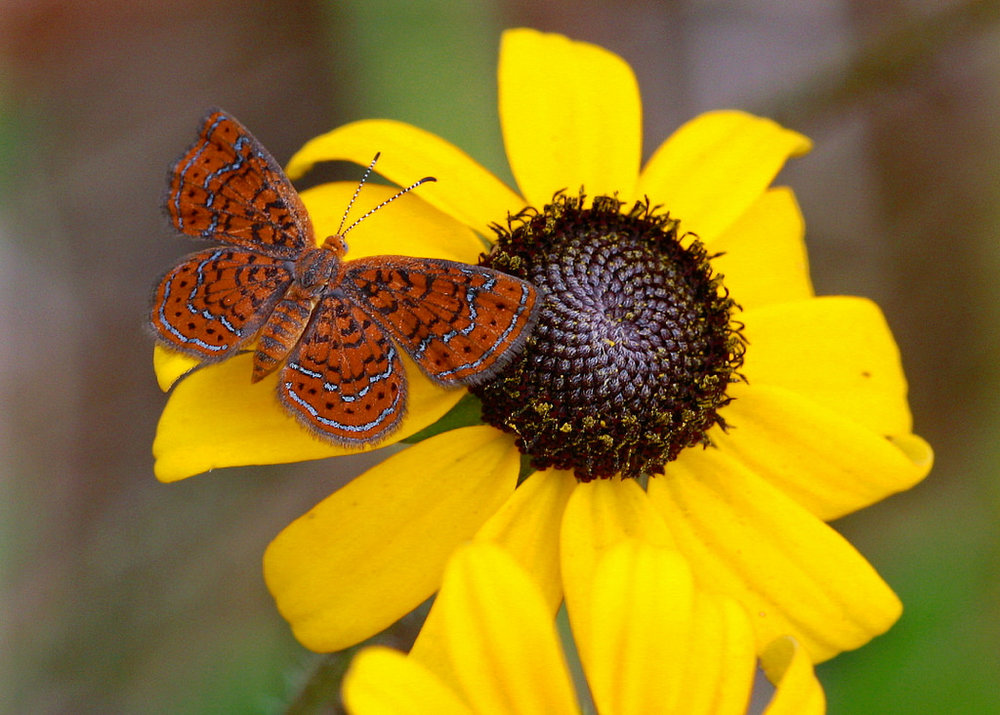 Butterfly Gardening in Florida, by IFAS         Little Metalmark on Blackeyed Susan,                          photo by Mary Keim