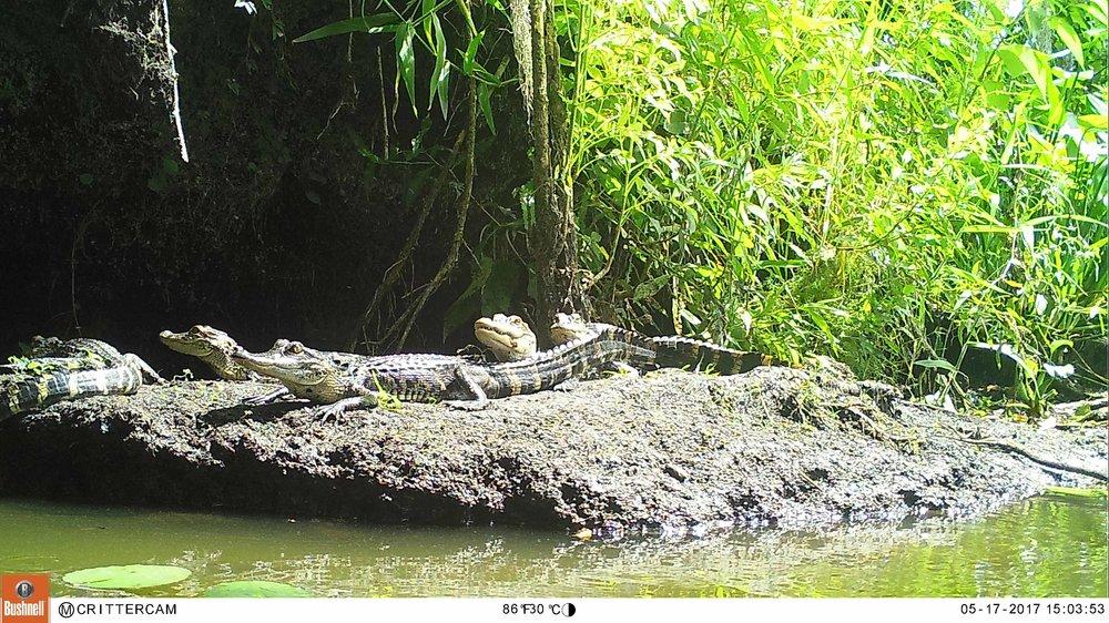 babyalligatorswetlands1db.JPG