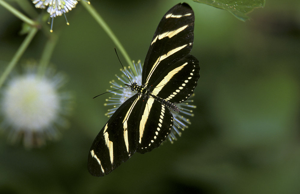Zebra Longwong Butterfly                by Mike Brinkley