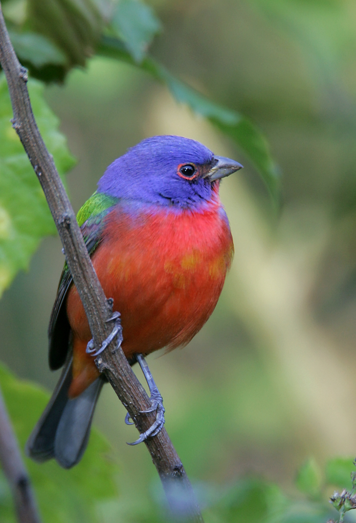 Male Painted Bunting                by Mike Brinkley