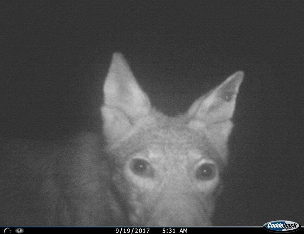 coyote091917.JPG