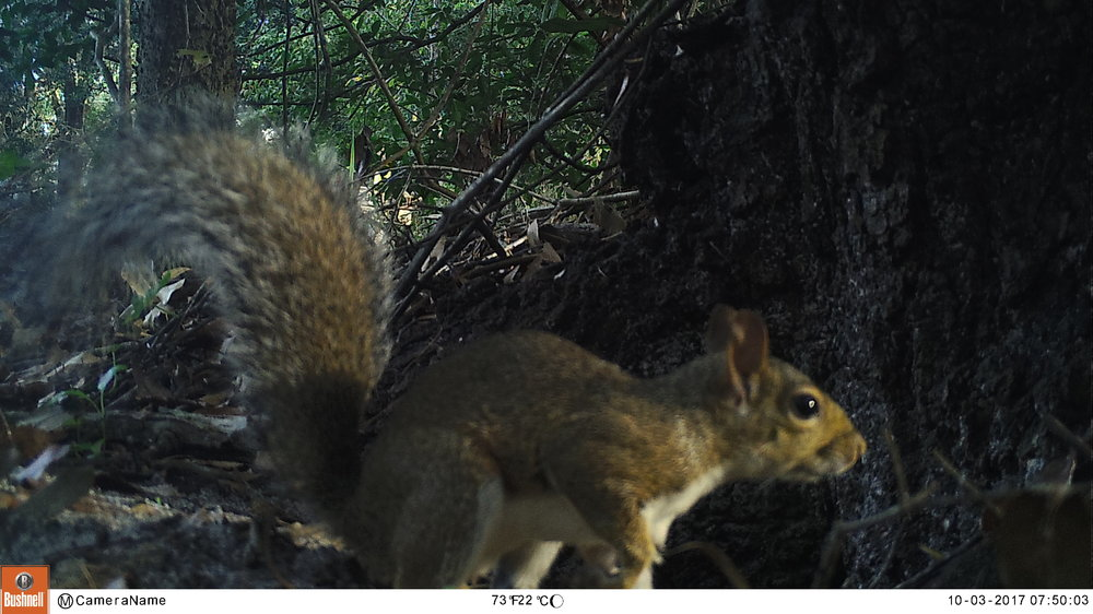 SquirrelOakHammockOctober2017.JPG