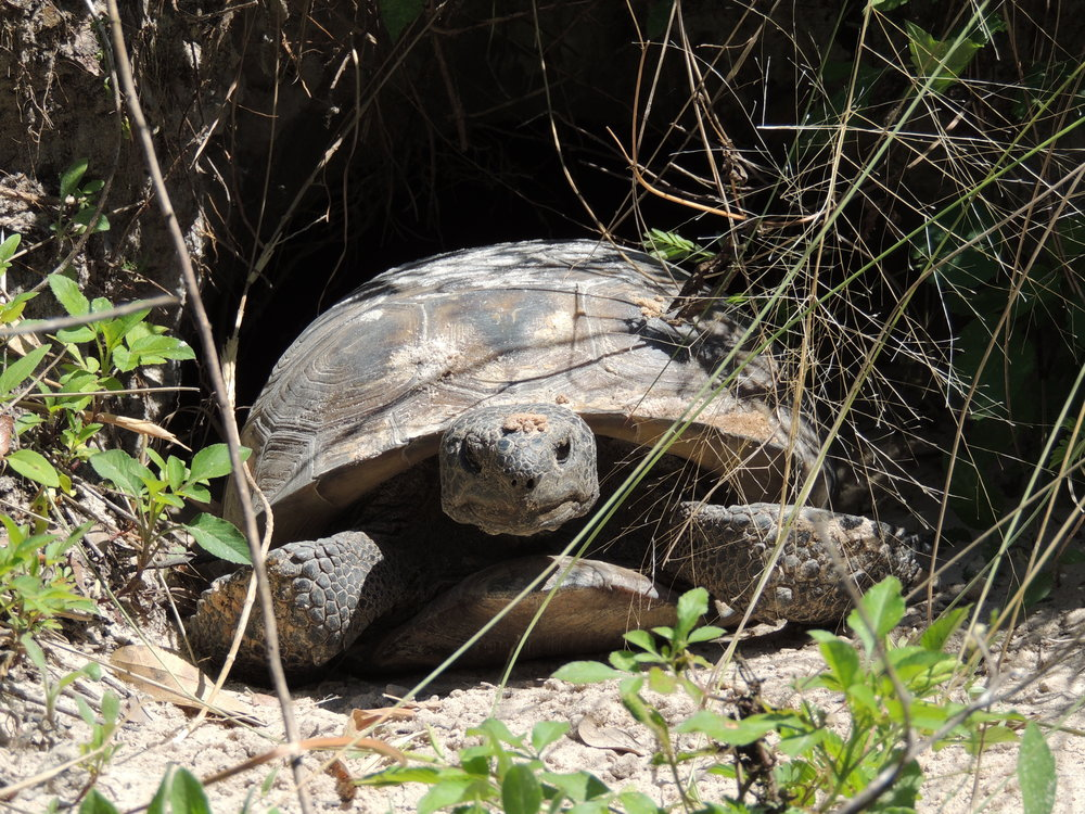 gophertortoisehabitatrestoration1_db.JPG