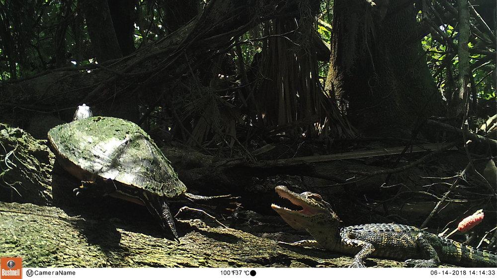 turtleandAlligator.JPG