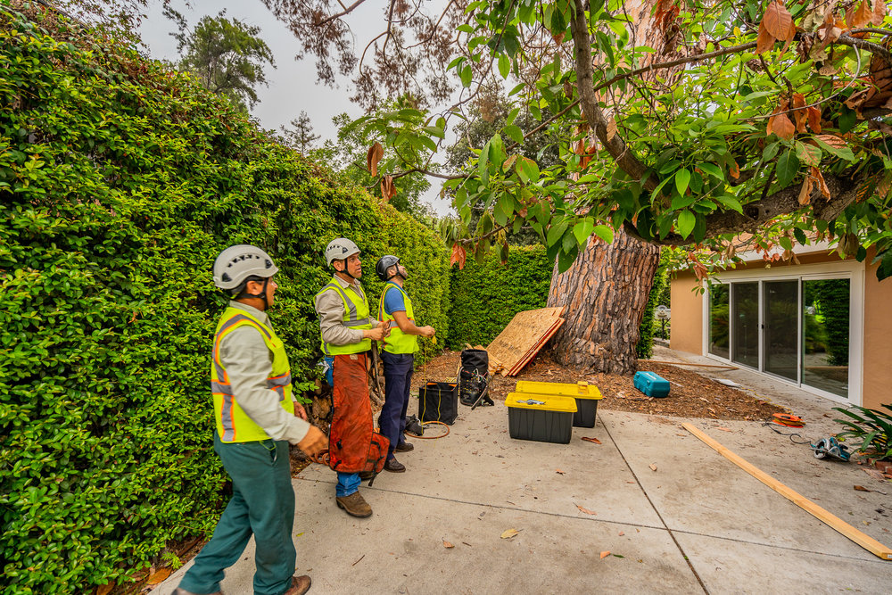 Mariposa Tree Removal Ground-27.jpg