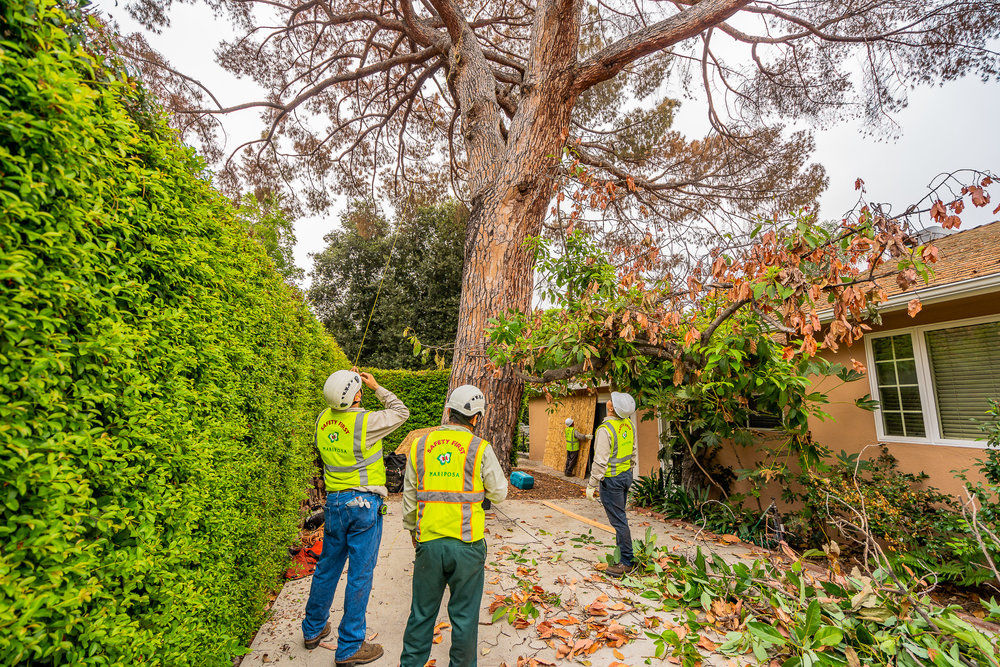 Mariposa Tree Removal Ground-28.jpg