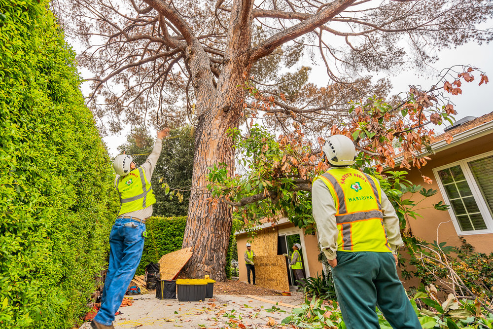 Mariposa Tree Removal Ground-30.jpg