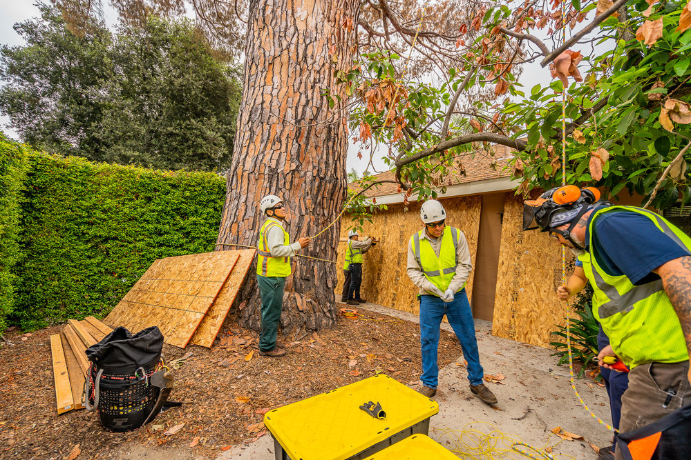 Mariposa Tree Removal Ground-33.jpg