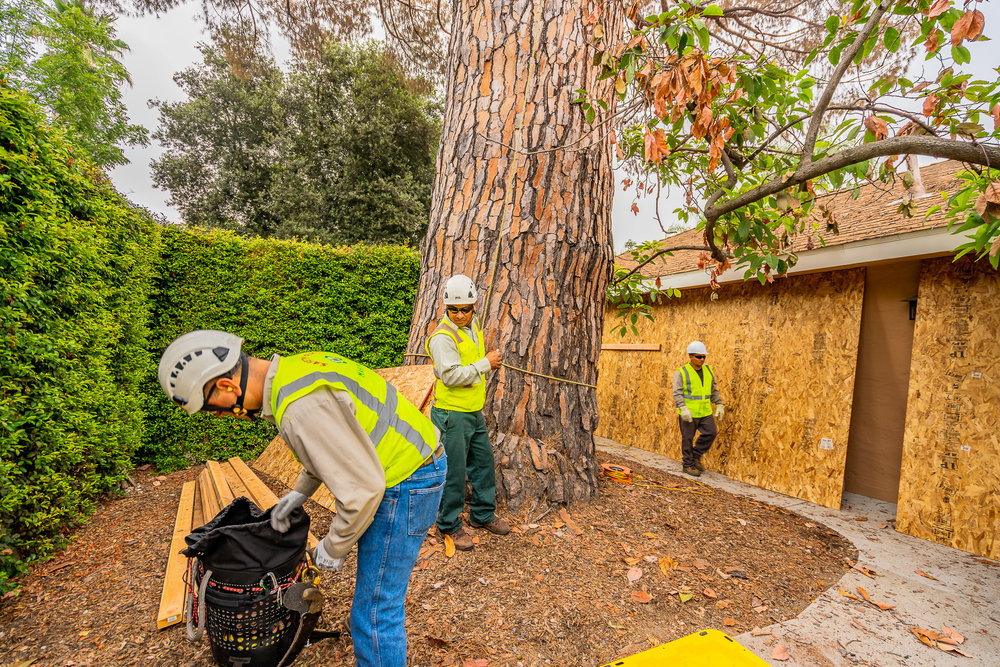 Mariposa Tree Removal Ground-34.jpg