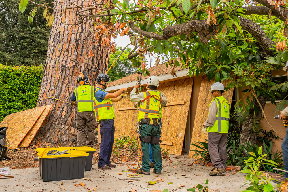 Mariposa Tree Removal Ground-40.jpg