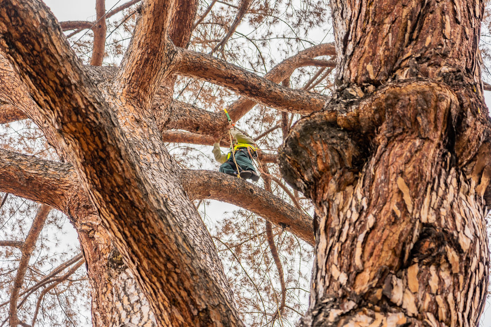 Mariposa Tree Removal Ground-45.jpg