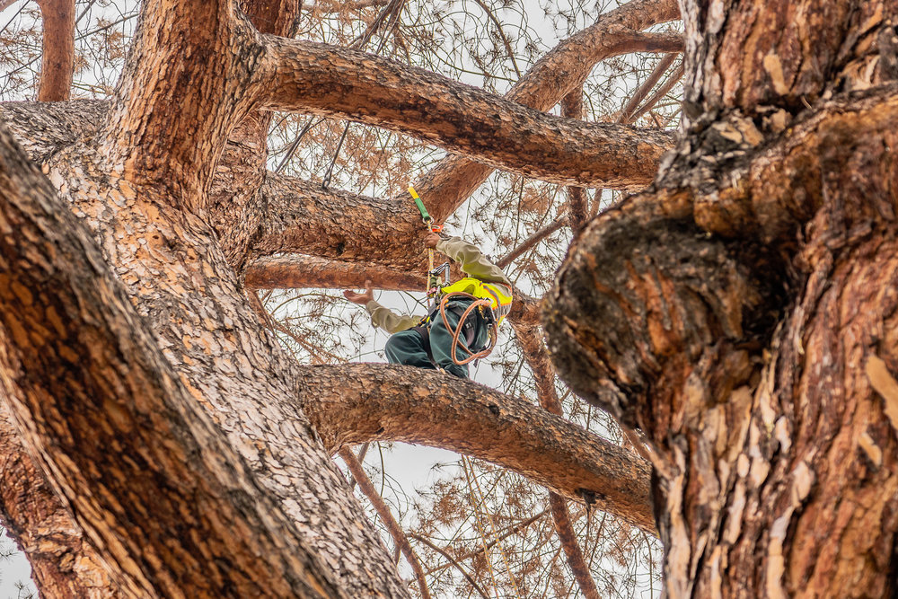 Mariposa Tree Removal Ground-46.jpg
