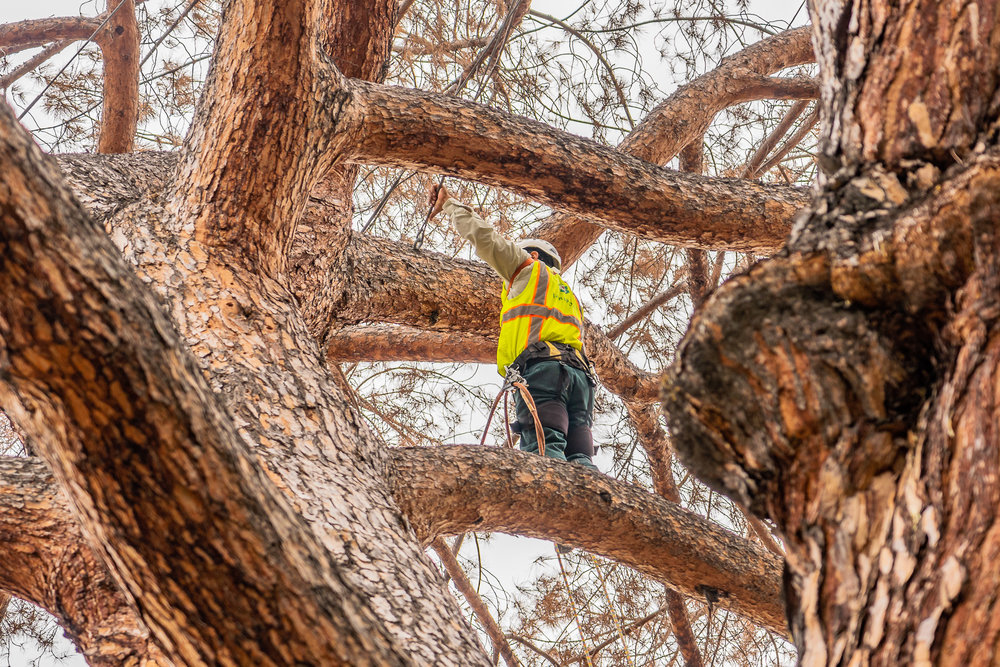 Mariposa Tree Removal Ground-47.jpg