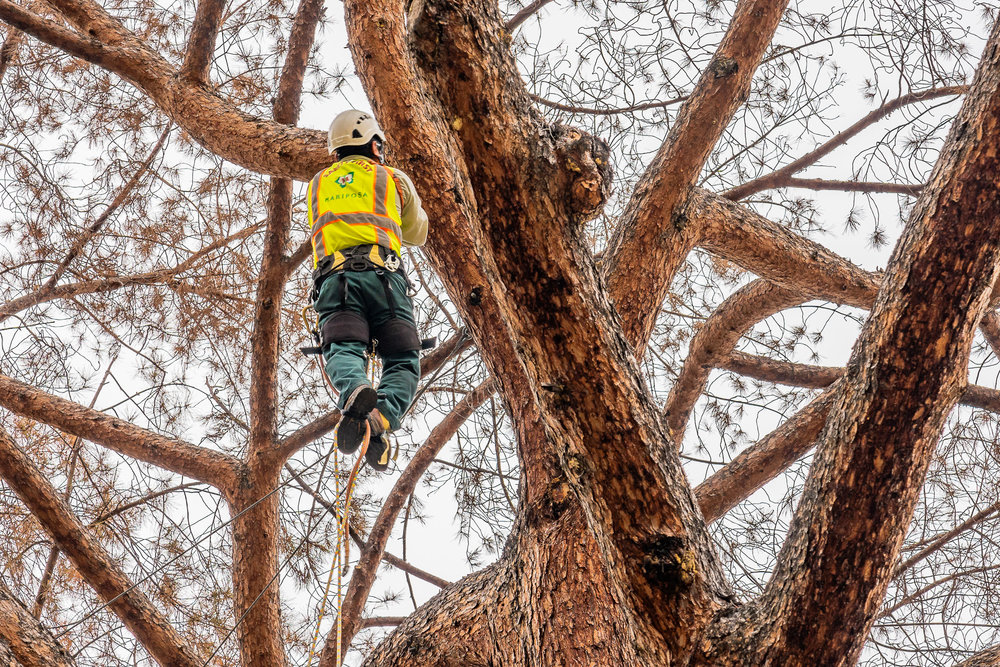 Mariposa Tree Removal Ground-48.jpg