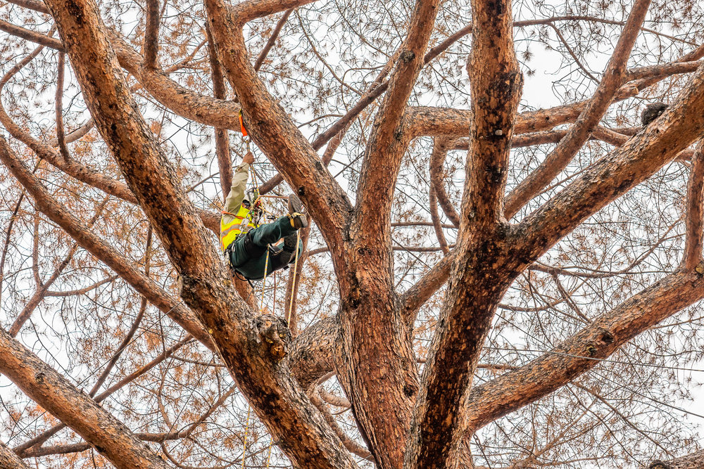 Mariposa Tree Removal Ground-51.jpg