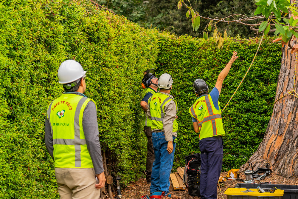 Mariposa Tree Removal Ground-52.jpg