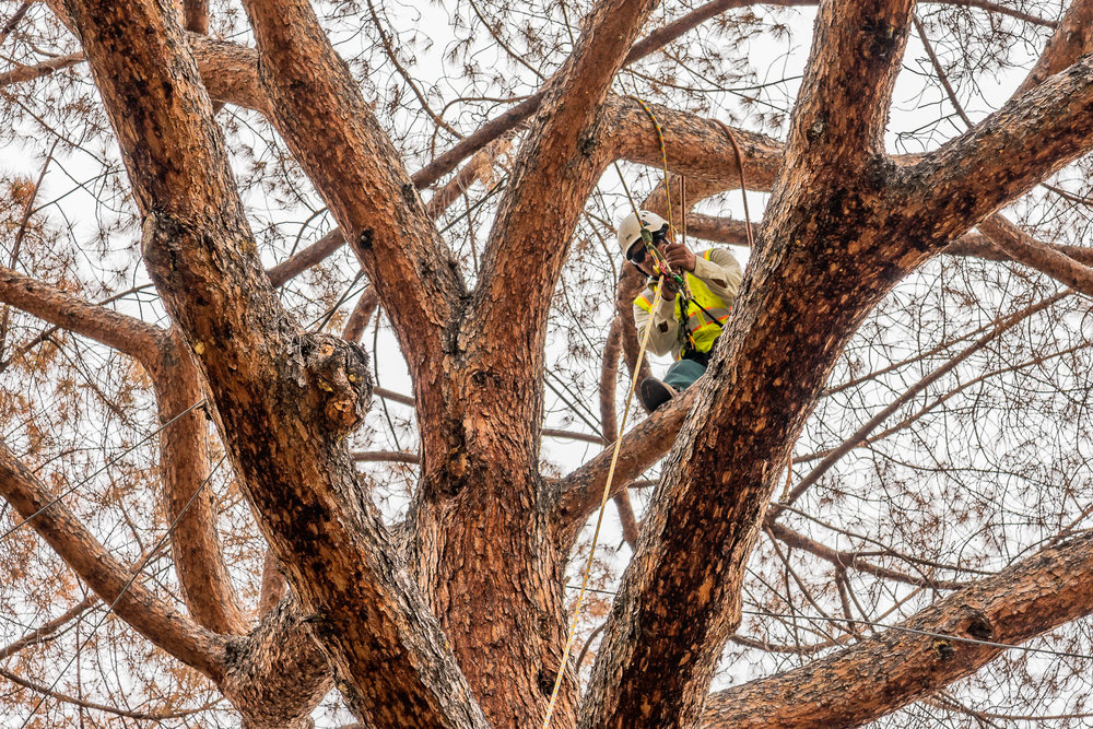 Mariposa Tree Removal Ground-56.jpg