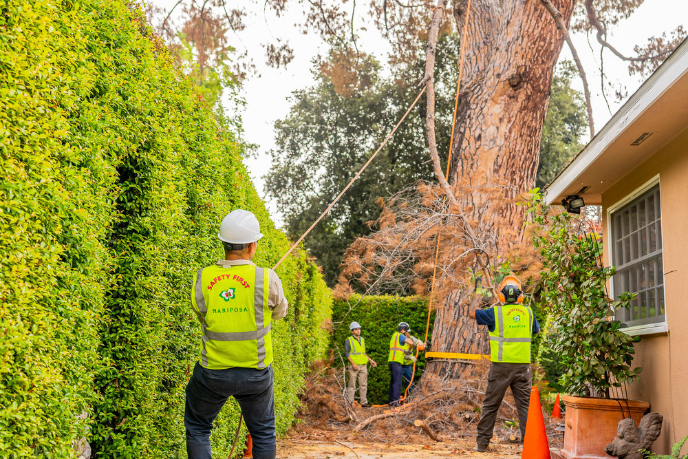 Mariposa Tree Removal Ground-62.jpg