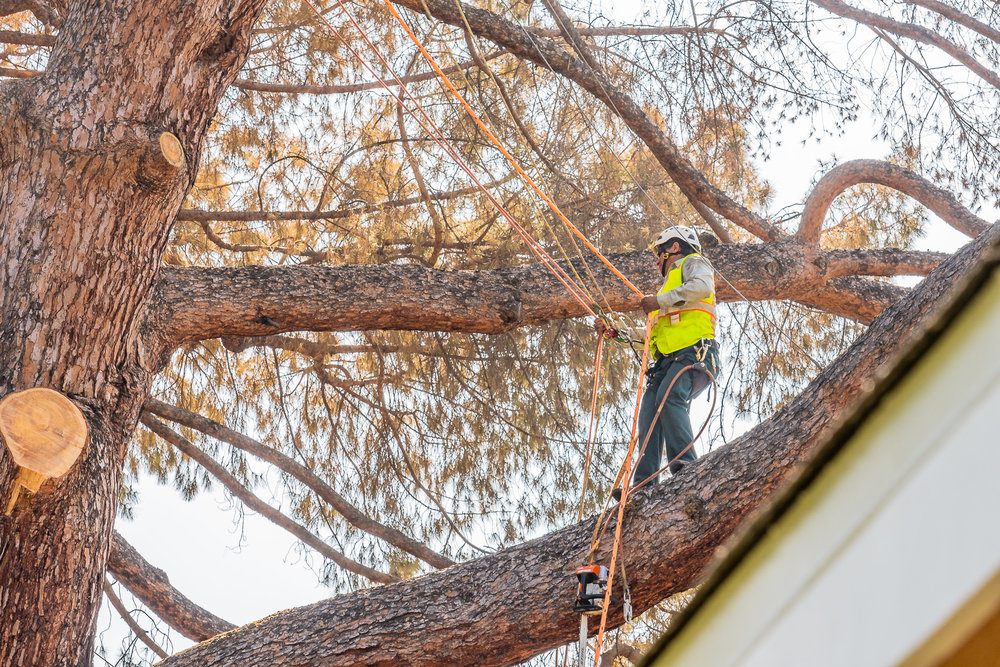 Mariposa Tree Removal Ground-73.jpg