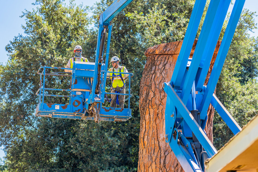 Mariposa Tree Removal Ground-103.jpg