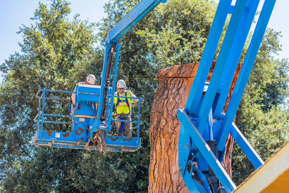 Mariposa Tree Removal Ground-104.jpg