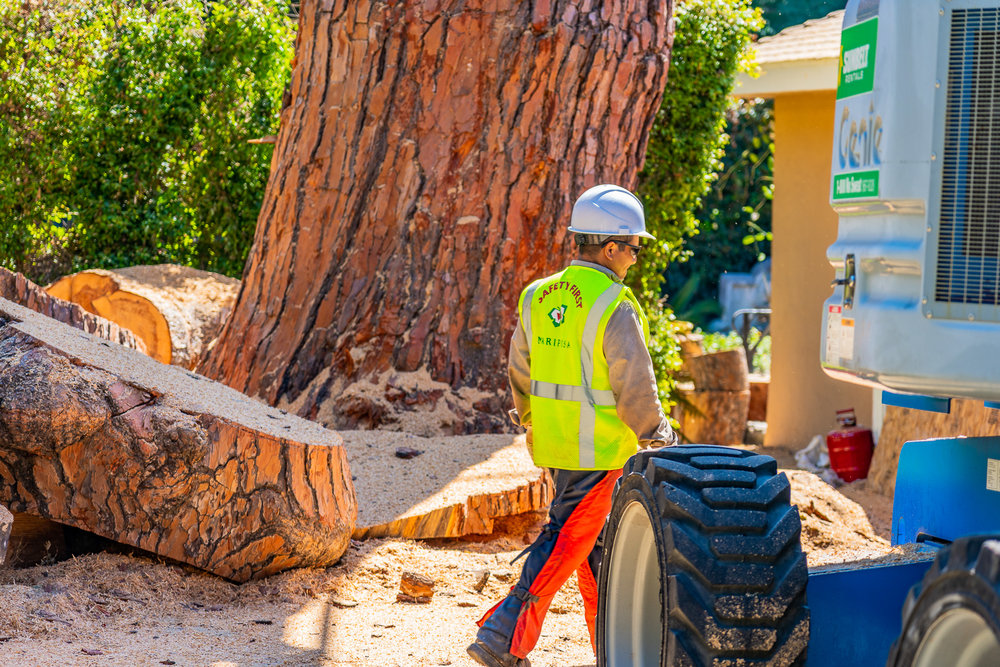 Mariposa Tree Removal Ground-109.jpg
