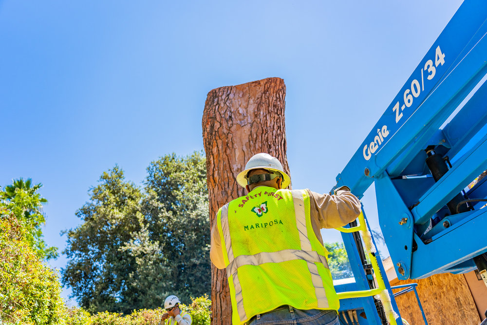 Mariposa Tree Removal Ground-140.jpg