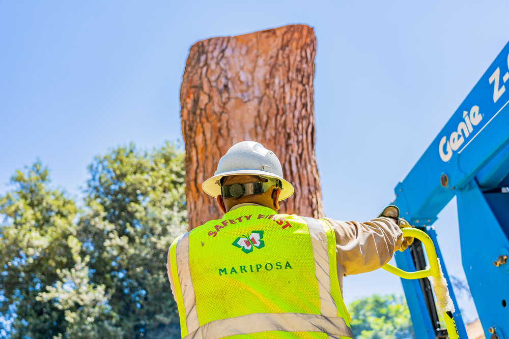 Mariposa Tree Removal Ground-141.jpg