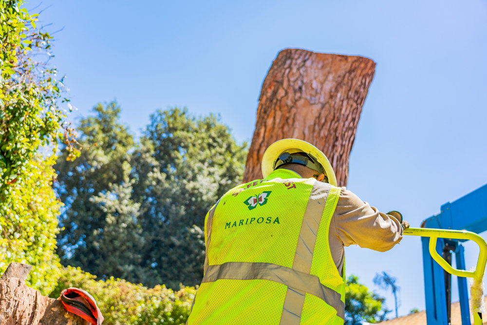 Mariposa Tree Removal Ground-143.jpg