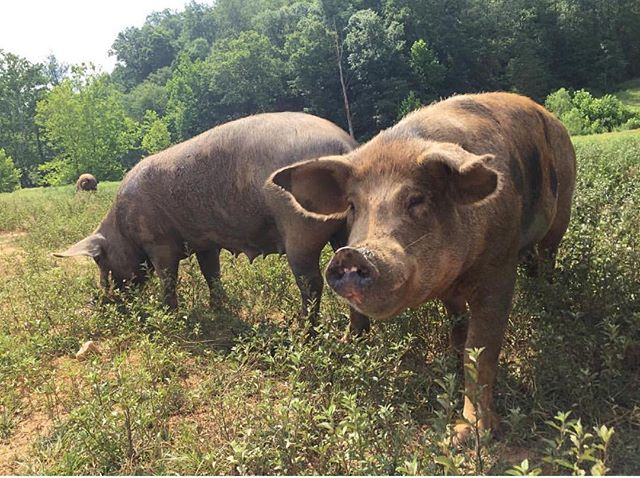 """#regram from our hog suppliers @vandelefarms """"Lilybell Junior saying hello 🐖"""" #happypigs #pastureraised #wncfarms #local"""