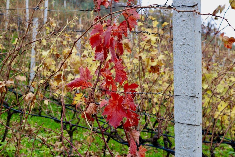 Skegro vineyard, Ljubuski, Herzegovina