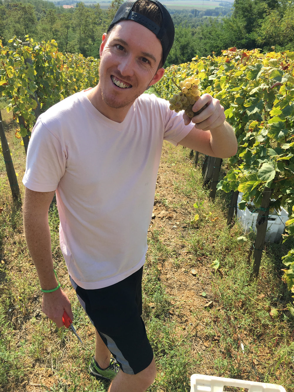 A little harvesting action in the Sontacchi vineyards in Kutjevo, Slavonia, Croatia