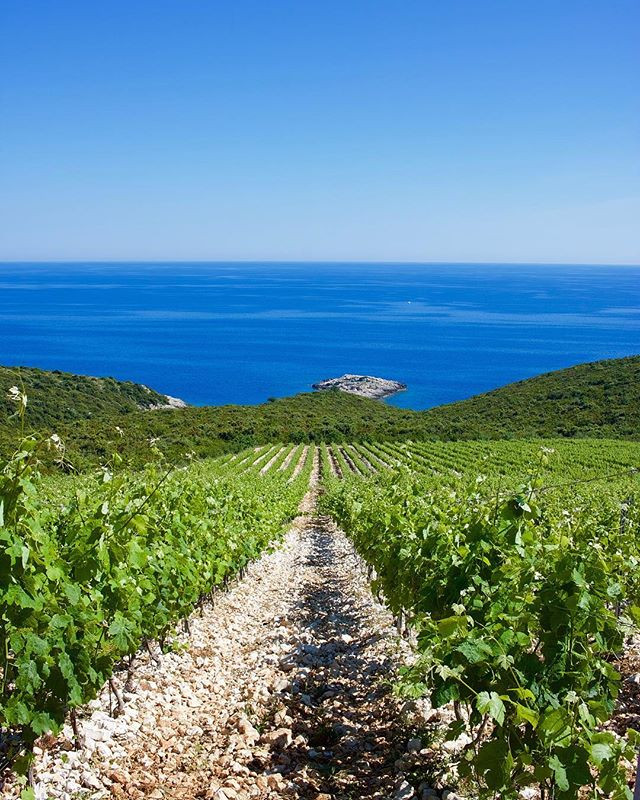 No filter is needed for the vineyards of @winery_zure on the island of Korčula. These winery specializes in wines made from Grk, a grape only found on the island. ... ... ... #croatia #croatianwine #vineyard #wine #igwine #winelovers #winetime #wineoclock #winetasting #exoticwinetravel #unlimitedadriatic #croatiafulloflife #winetravel #natgeotravel #beautifulplaces #dalmatia #winelover #grk #korcula