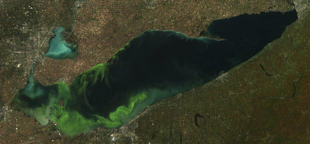Cyanobacteria bloom in Lake Eerie. Satellite image courtesy of NOAA.