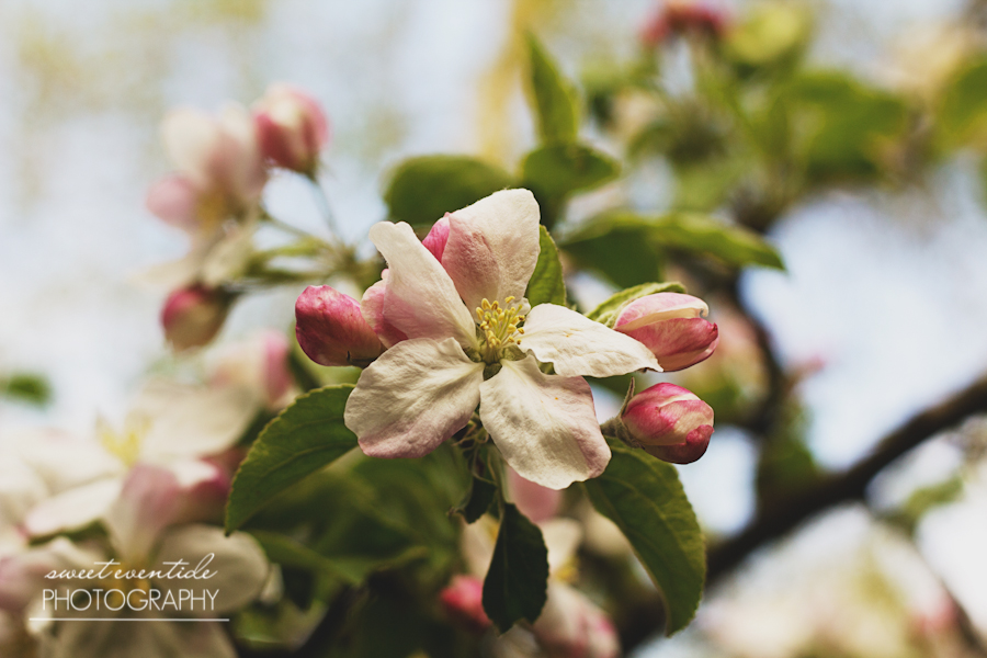 apple blossom fine art photograph by Jessica Nichols Sweet Eventide Photography