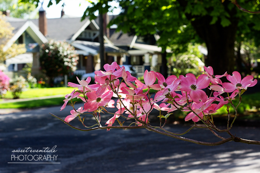 Dogwood Tree Pink Flowers Portland Photograph by Jessica Nichols Sweet Eventide Photography