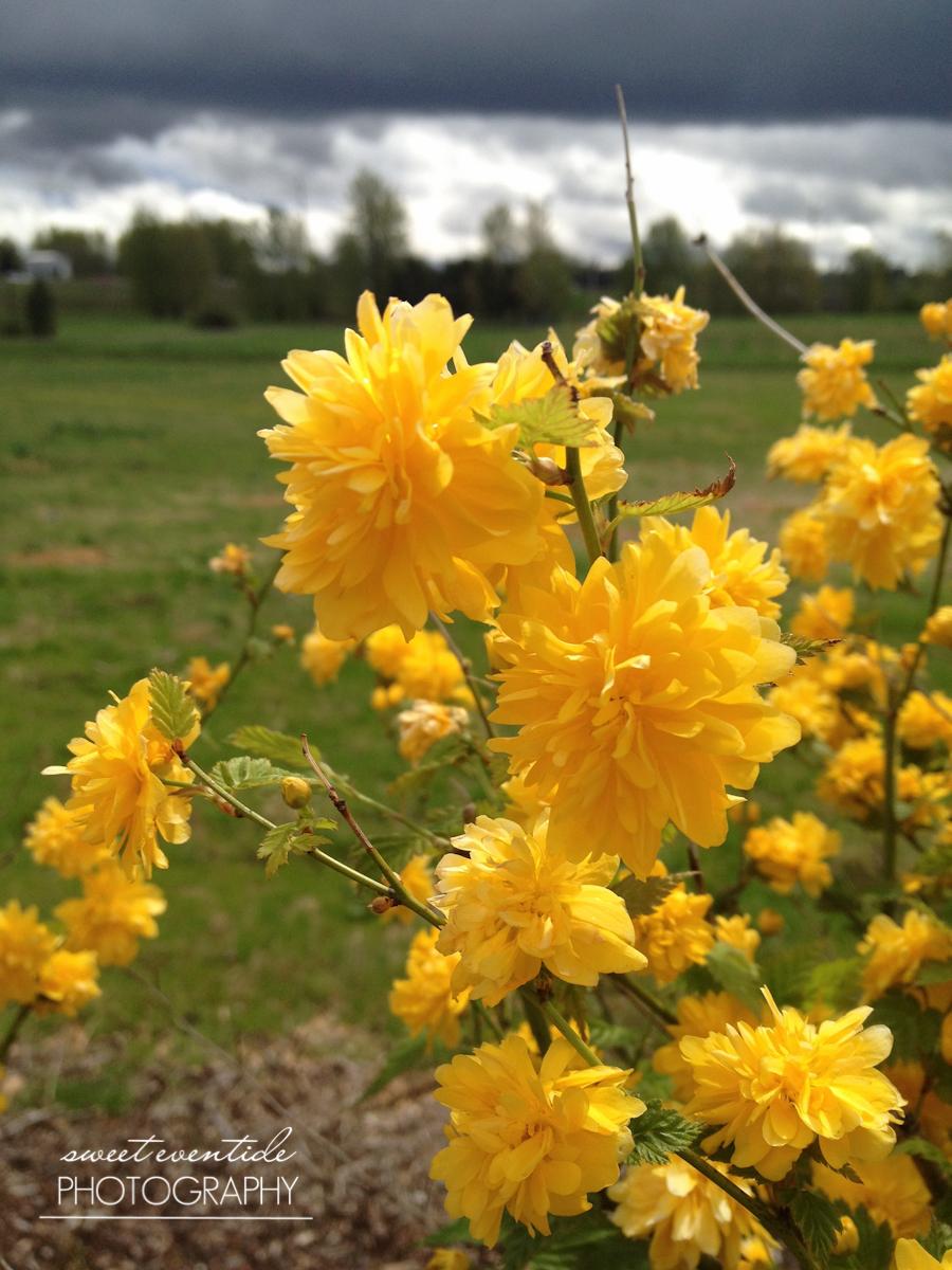 yellow flowers stormy dark sky