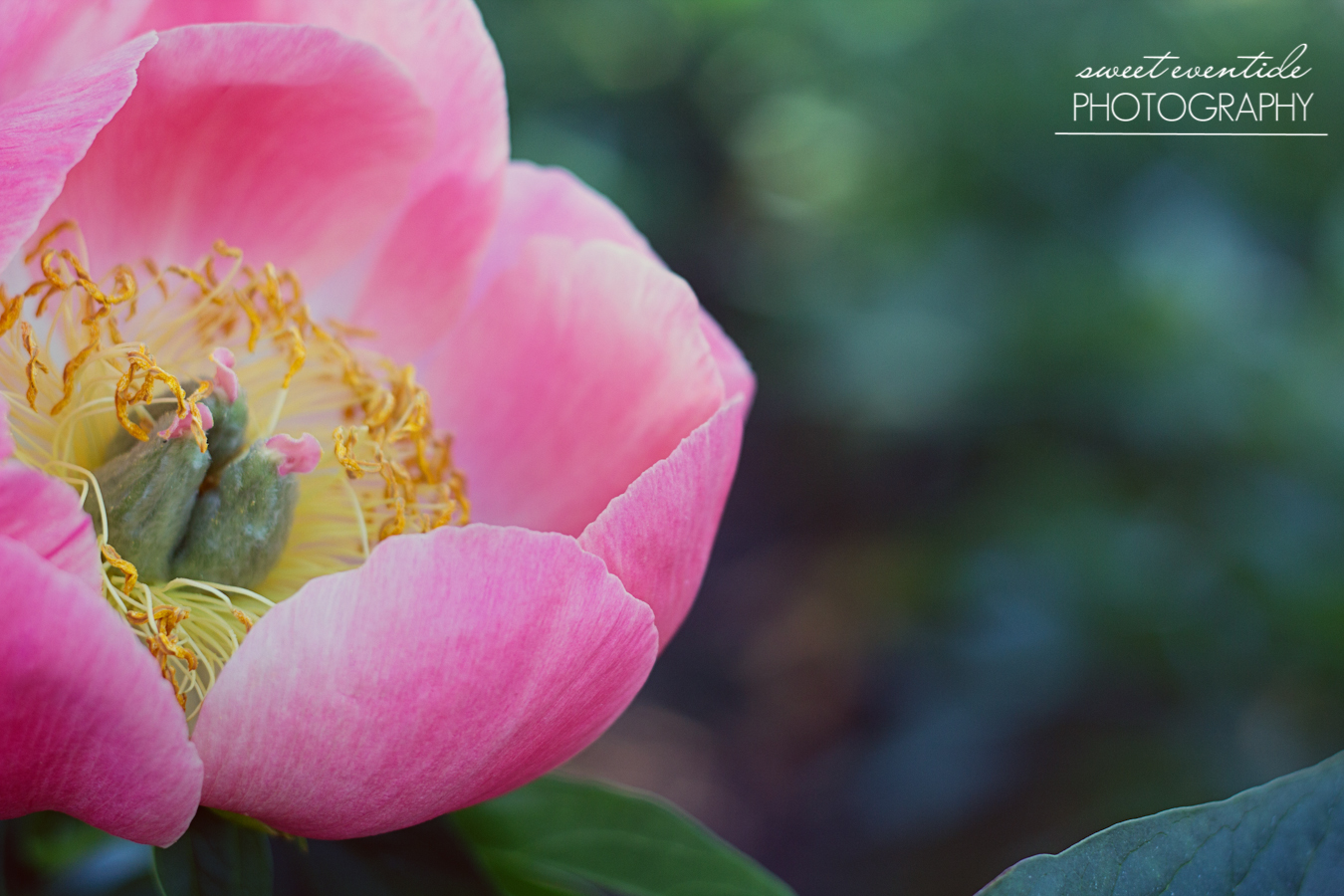 pink yellow peony oregon photo by jessica nichols sweet eventide